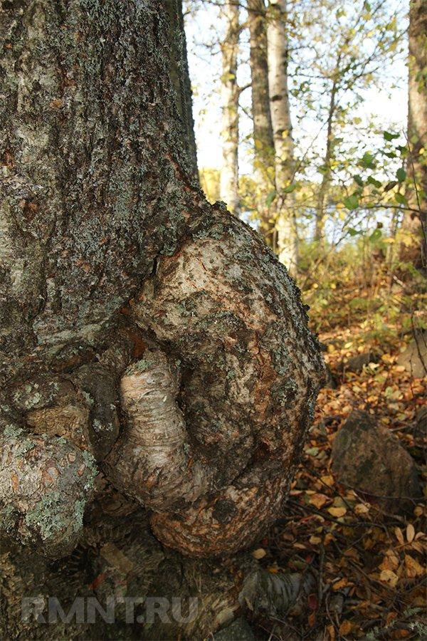 Все о пороках древесины